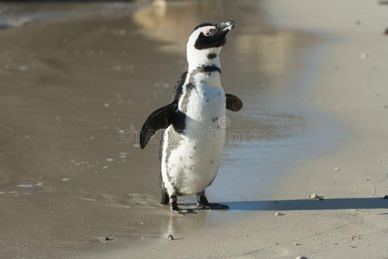 Pingouin africain sur la plage photos stock