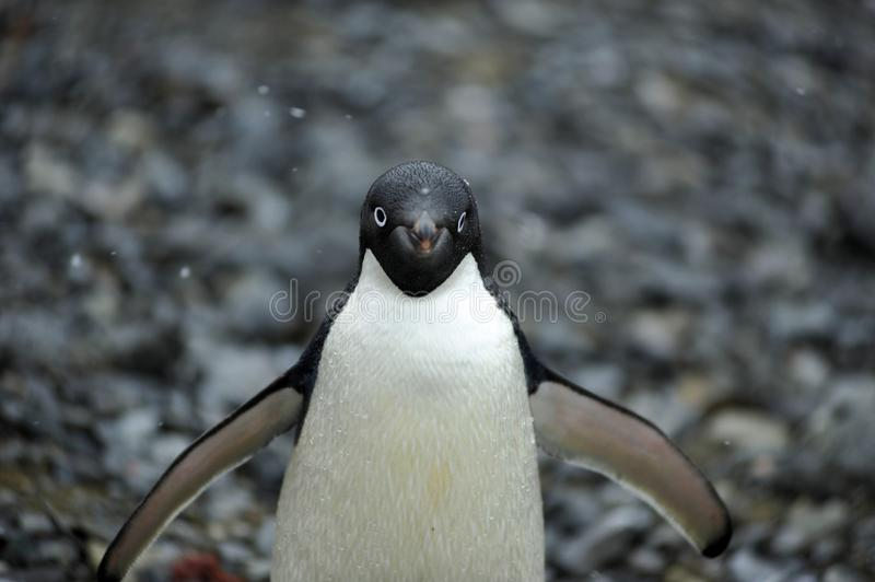 Pingouin Antarctique d'Adelie photos libres de droits
