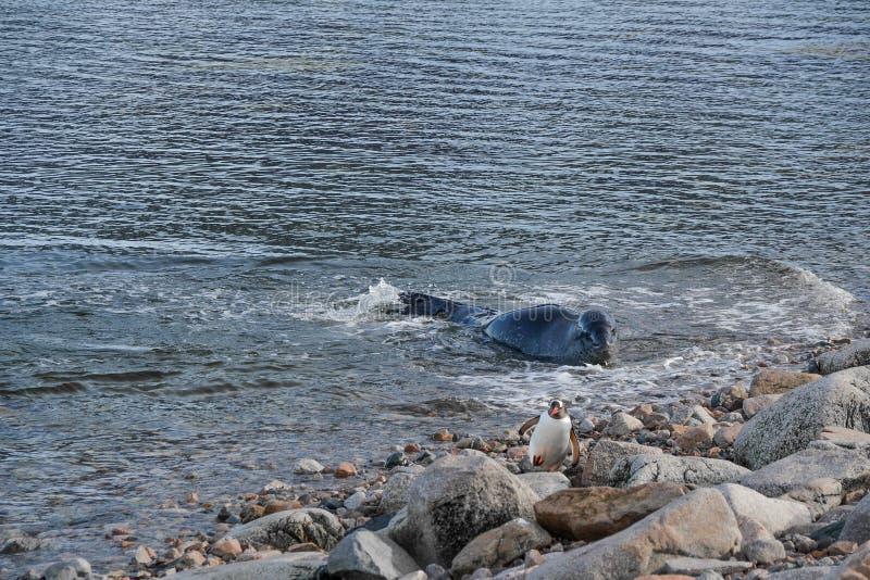 Pingouin chassé par le joint de léopard image stock