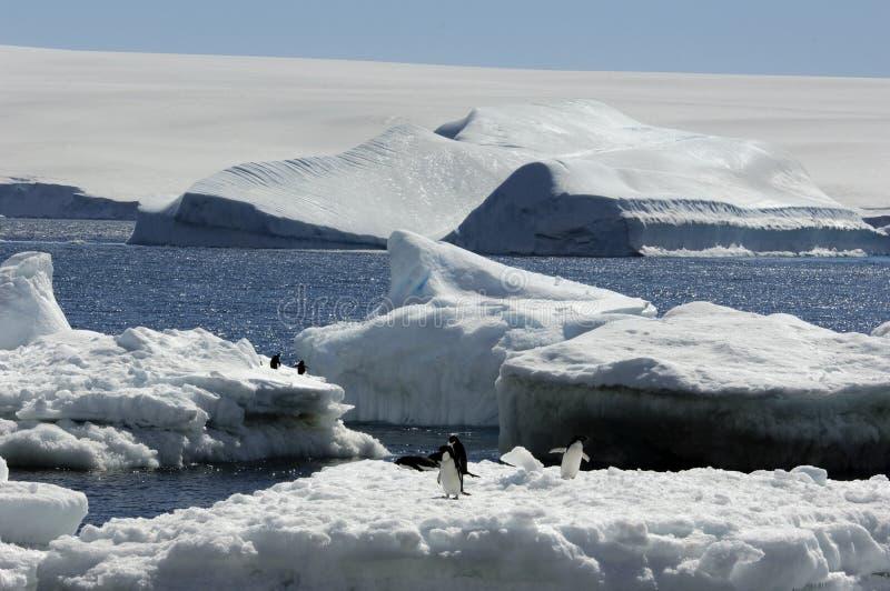Pingouin d'Adelie photos libres de droits