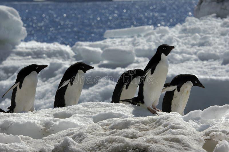 Pingouin d'Adelie image libre de droits