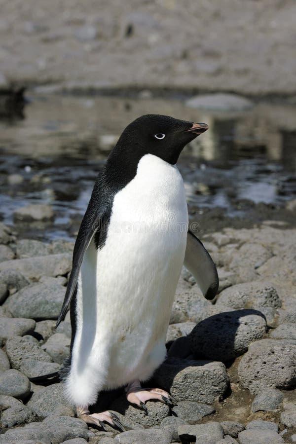 Pingouin d'Adelie photo stock