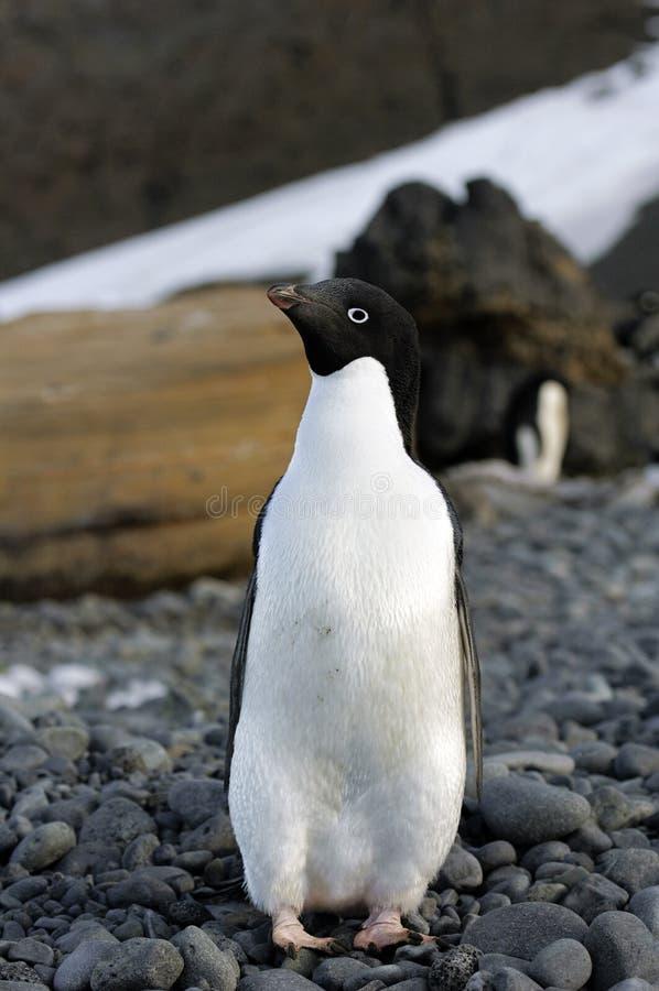 Pingouin d'Adelie photographie stock libre de droits