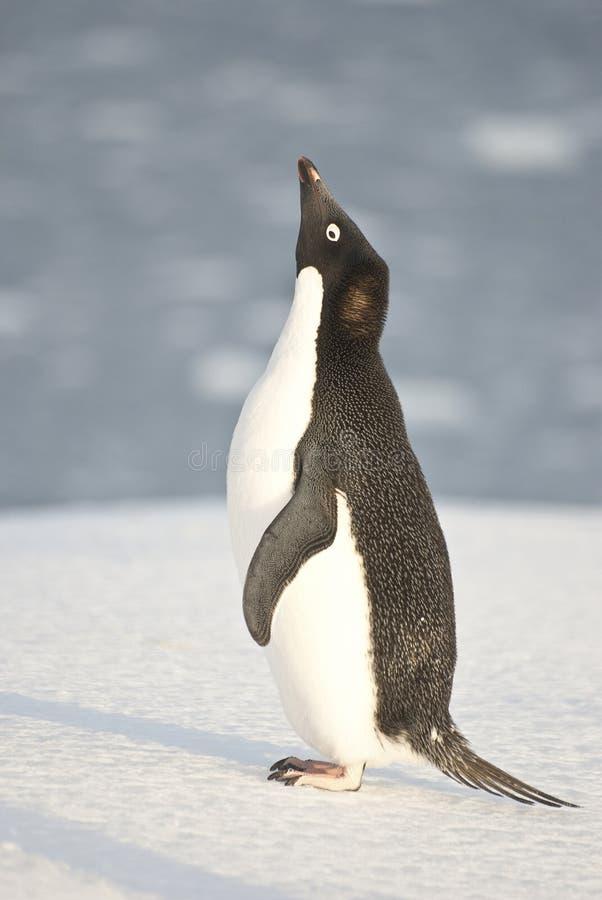 Pingouin d'Adelie criant sur la plage. photos stock