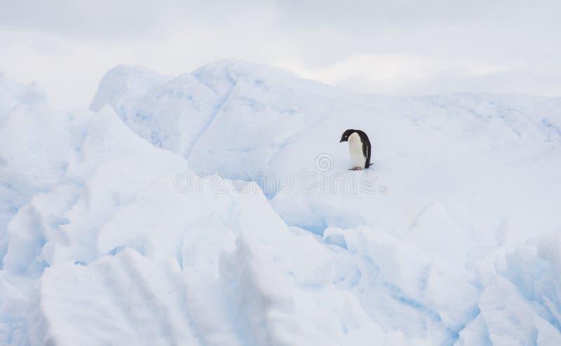 Pingouin d'Adelie sur un iceberg image libre de droits