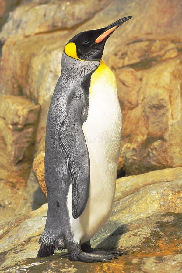 Pingouin d'empereur photographie stock libre de droits