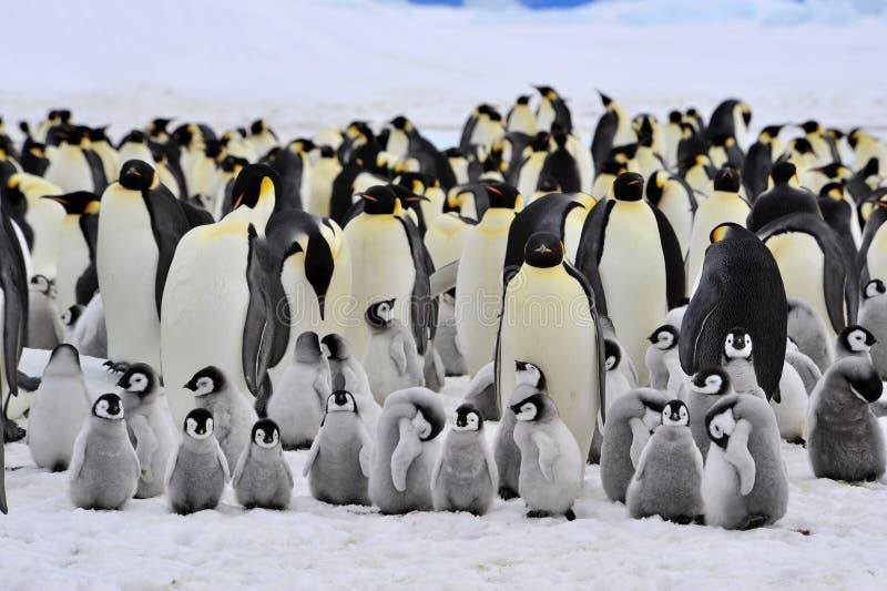 Pingouin d'empereur photographie stock