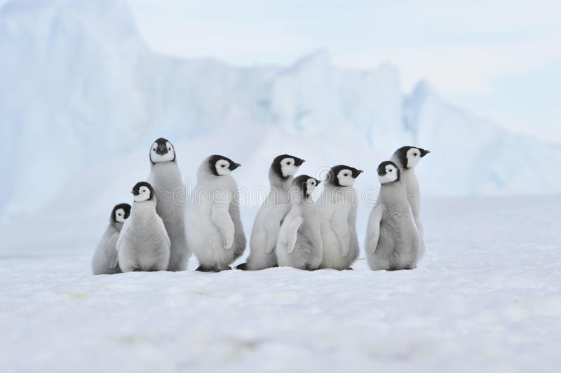 Pingouin d'empereur