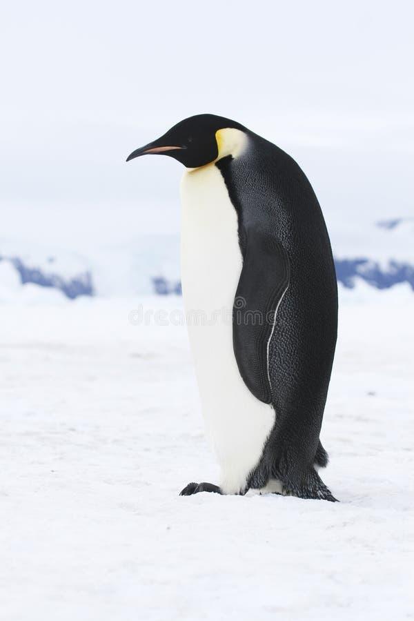 pingouin d'empereur images libres de droits