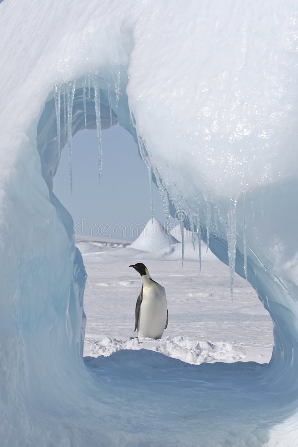 pingouin d'empereur photo libre de droits