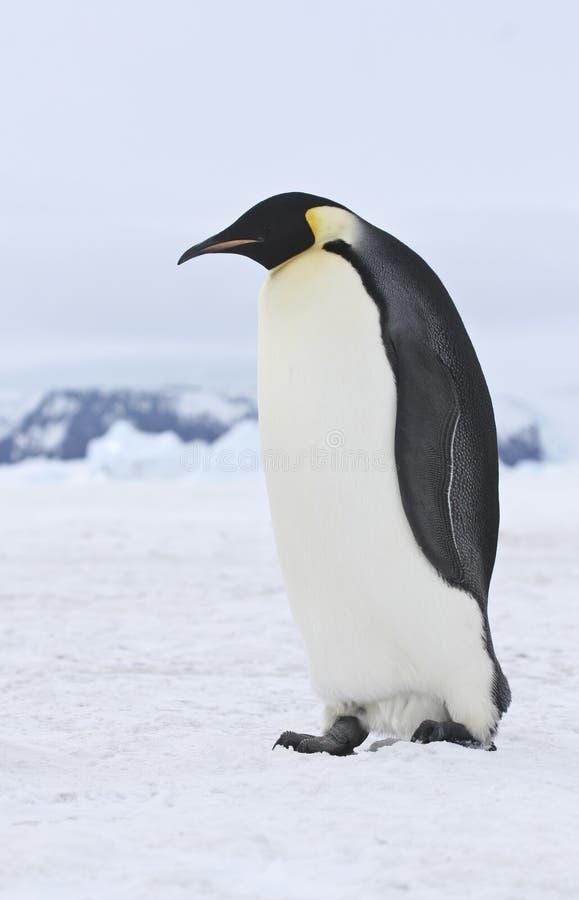pingouin d 39 empereur photo stock image du froid empereur 8995238. Black Bedroom Furniture Sets. Home Design Ideas