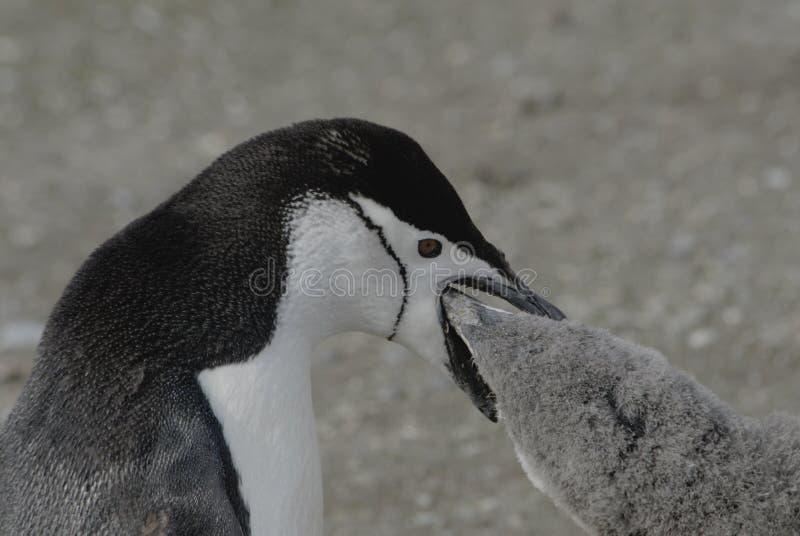 Pingouin de Chinstrap photo stock