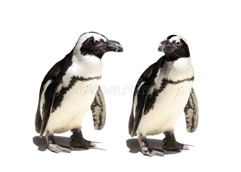 pingouin de couples photo libre de droits