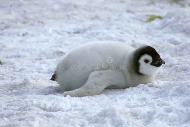 pingouin de forsteri d'empereur d'aptenodytes images stock