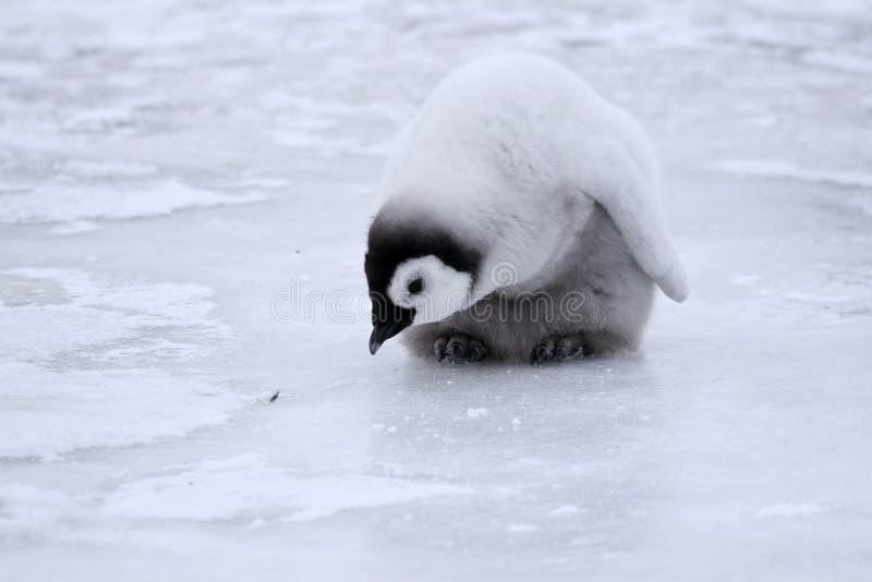 pingouin de forsteri d'empereur d'aptenodytes photo stock