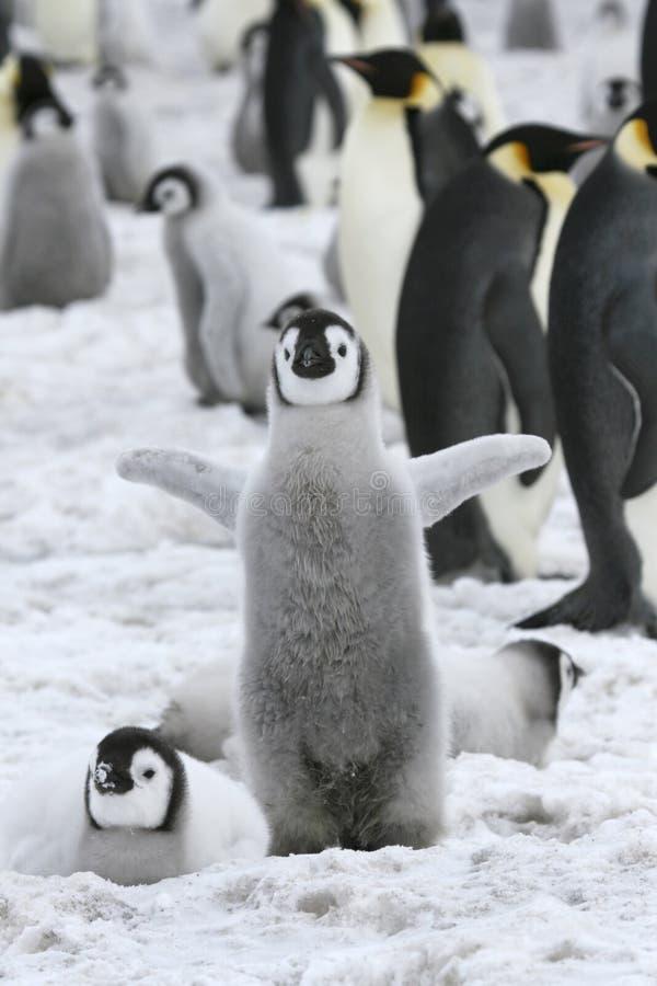 pingouin de forsteri d'empereur d'aptenodytes photos libres de droits