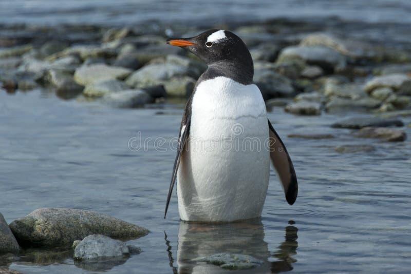 Pingouin de Gentoo, île de Ronge, Antarctique photo libre de droits