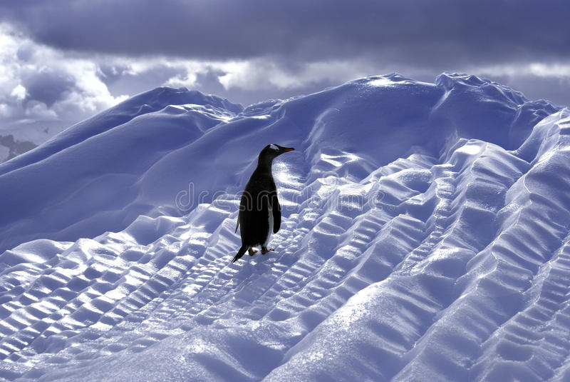 Pingouin de Gentoo image libre de droits