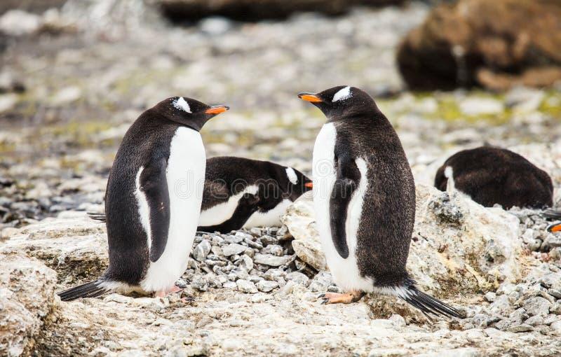 Pingouin de Gentoo photos stock