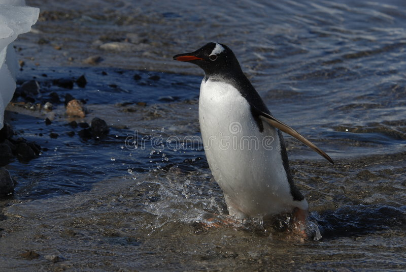 Pingouin de Gentoo images libres de droits