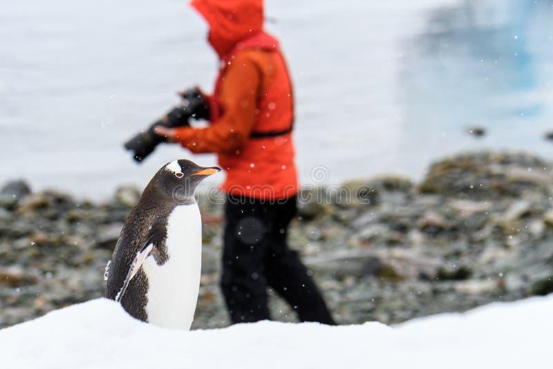 Pingouin de Gentoo marchant le long de la plage sur l'île de Danco, Antarctique, photographe dans le manteau rouge à l'arrière-pl photographie stock
