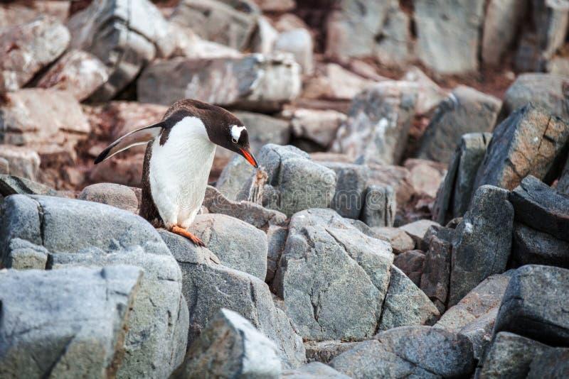 Pingouin de Gentoo se tenant sur des roches en Antarctique photos stock