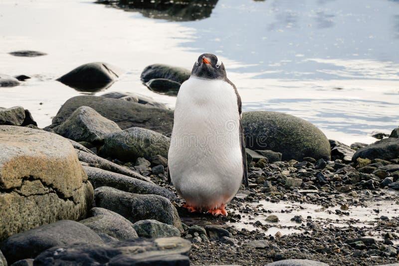 Pingouin de Gentoo sur l'île neigeuse de Wiencke en Antarctique photographie stock