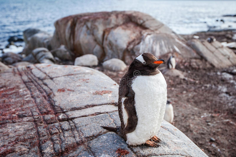 Pingouin de Gentoo sur le fond de l'océan et de la roche, photographie stock libre de droits