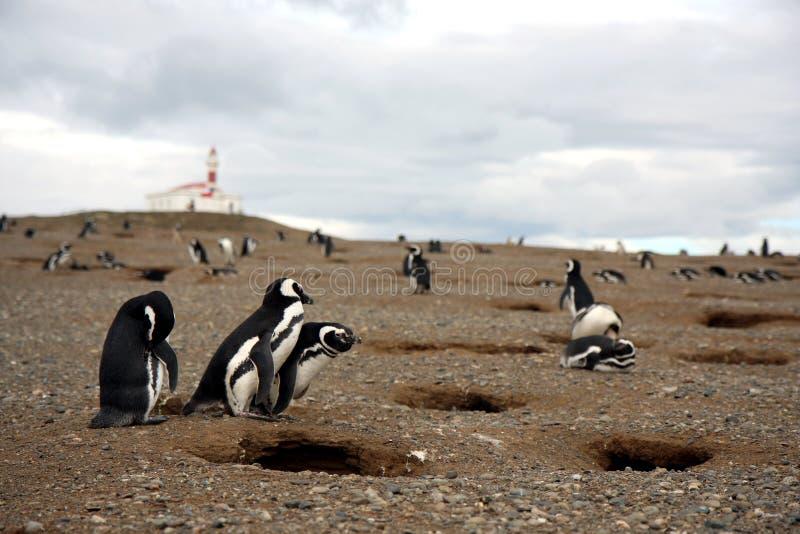 Pingouin de Magellan photographie stock libre de droits