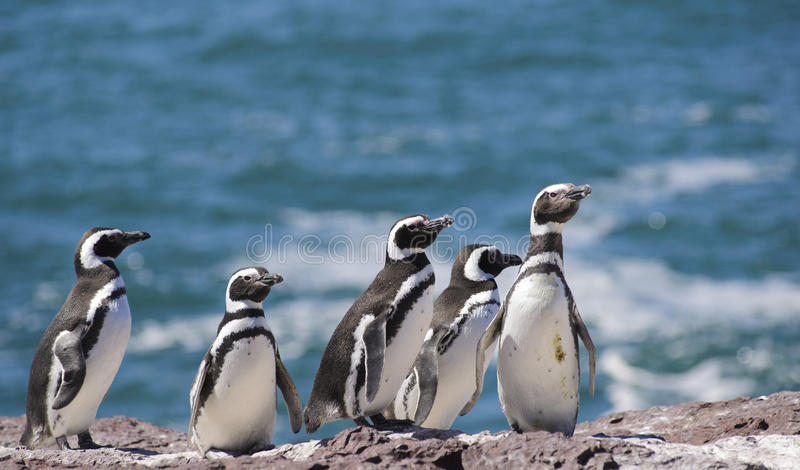 Pingouin de Magellan photos libres de droits