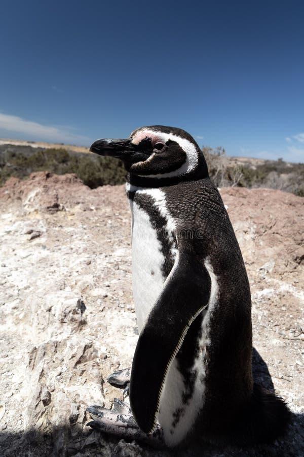 Pingouin de Magellan, dans Punta Tombo photos libres de droits
