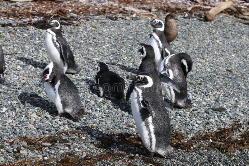 Pingouin de Magellan sur Tucker Island patagonia chile image stock