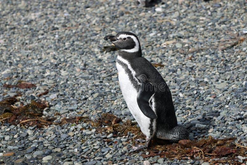 Pingouin de Magellan sur Tucker Island patagonia chile photographie stock libre de droits