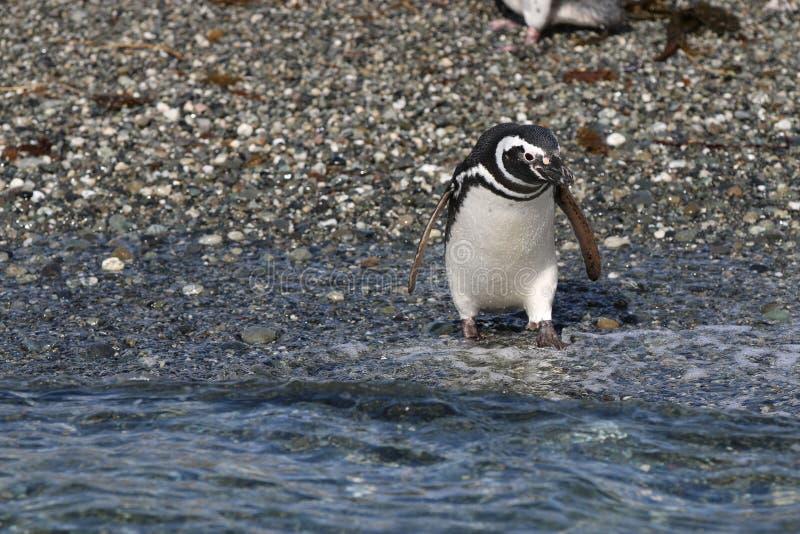 Pingouin de Magellan sur Tucker Island patagonia chile photos stock