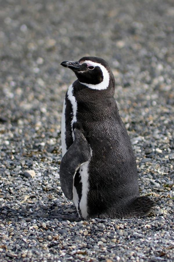 Pingouin de Magellanic photo libre de droits