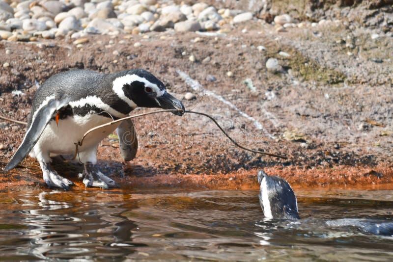 Pingouin de Magellanic images libres de droits
