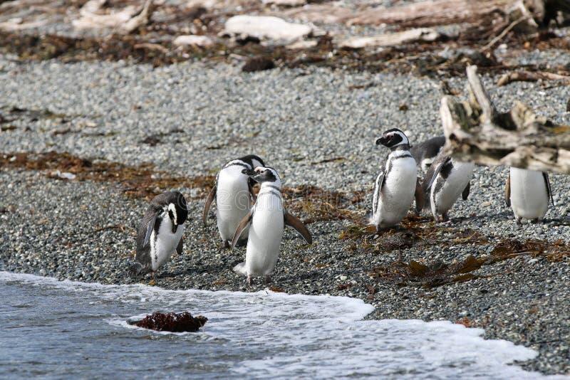 Pingouin de Magellanic sur Tucker Island chile photos stock