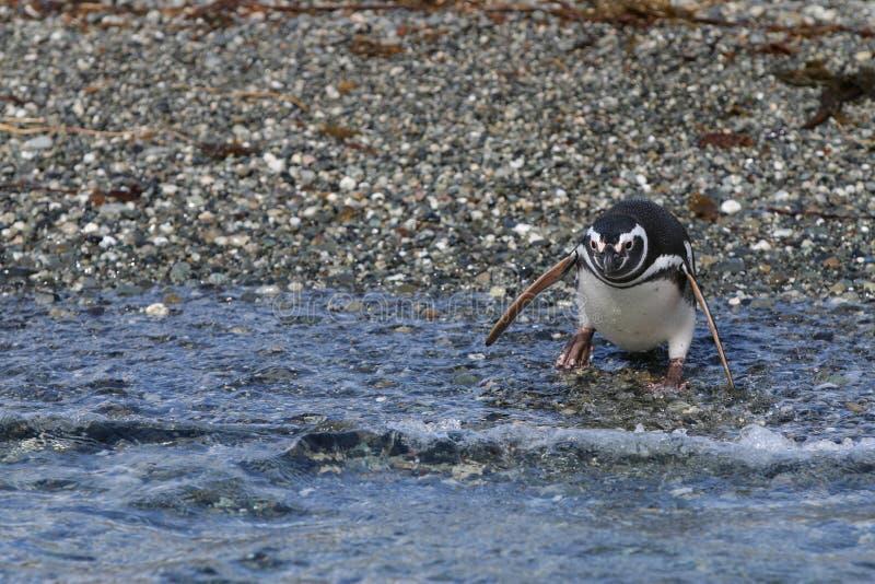 Pingouin de Magellanic sur Tucker Island chile photo libre de droits
