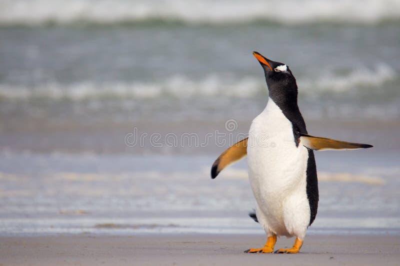 Pingouin de regard grincheux de Gentoo photographie stock libre de droits