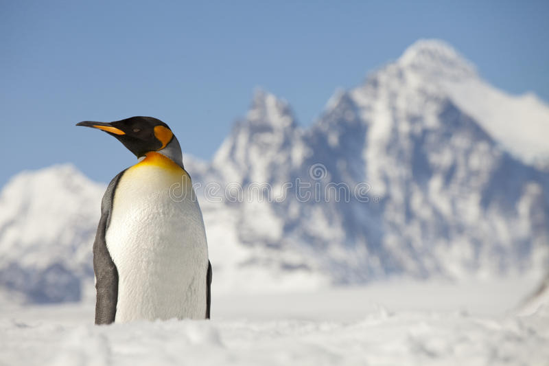 Pingouin de roi devant les crêtes de Georgia Island du sud image libre de droits