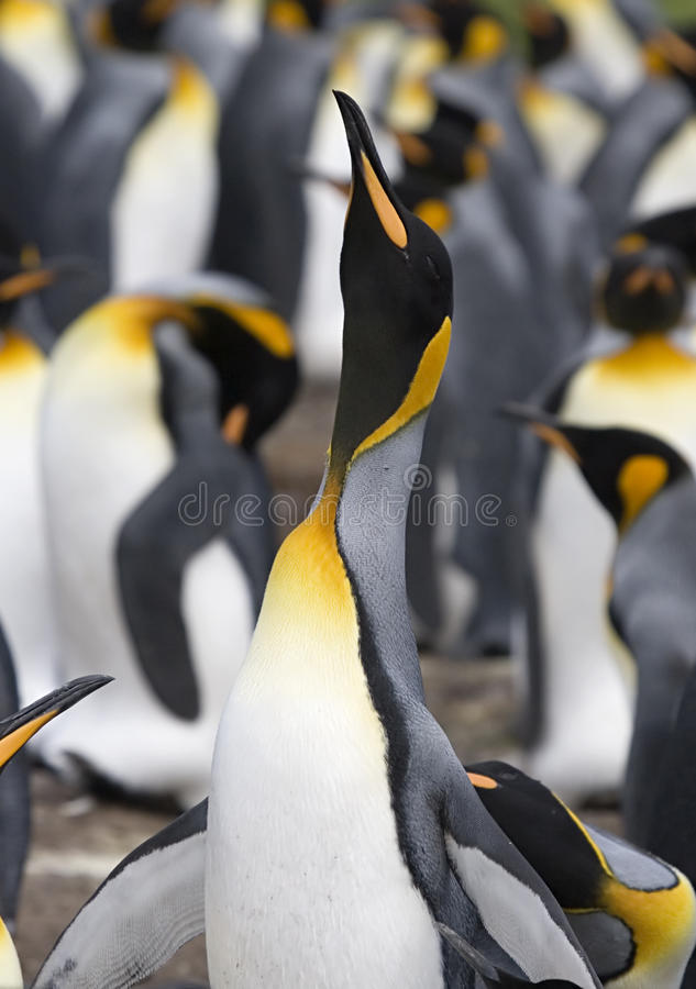 Pingouin de roi (patagonicus d'Aptenodytes) photo stock