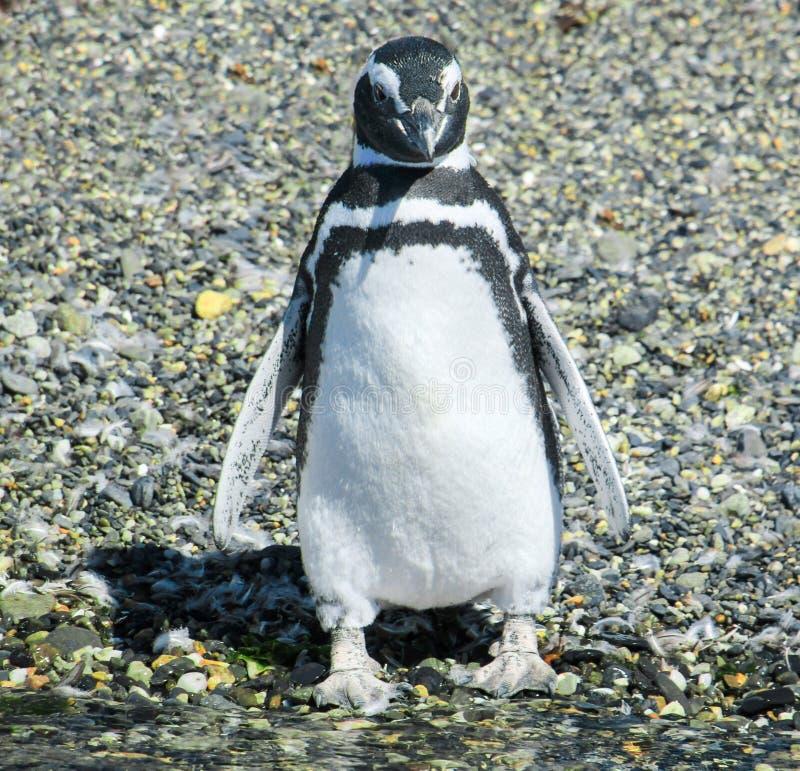 Pingouin de Tierra del Fuego photos libres de droits
