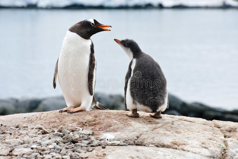 Pingouin et nana images libres de droits
