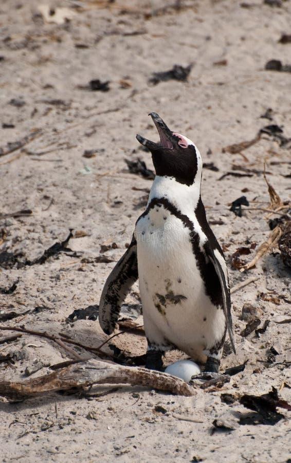 Pingouin et oeuf photographie stock libre de droits