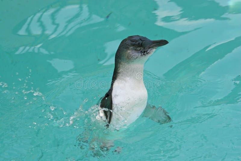 Pingouin féerique (mineur d'Eudyptula) images libres de droits