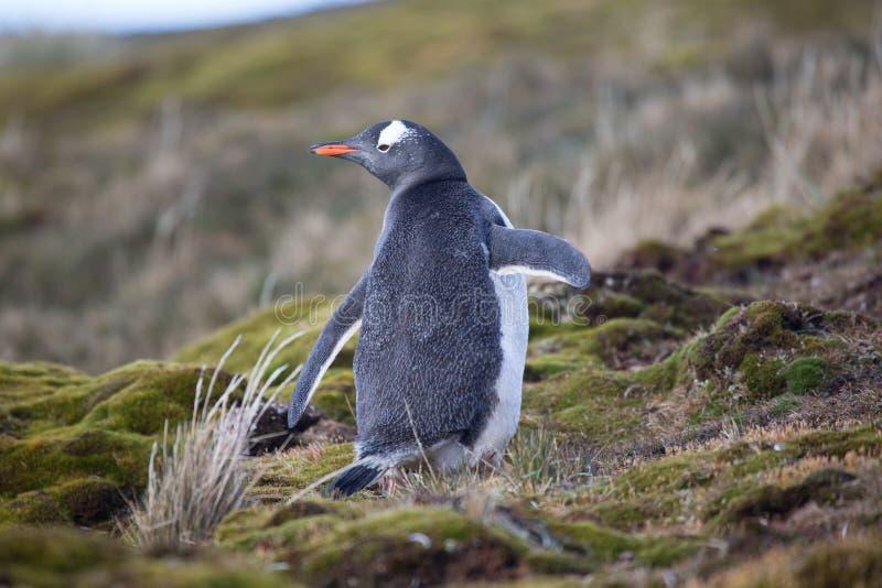Pingouin heureux de gentoo sur la Géorgie du sud au printemps photos libres de droits