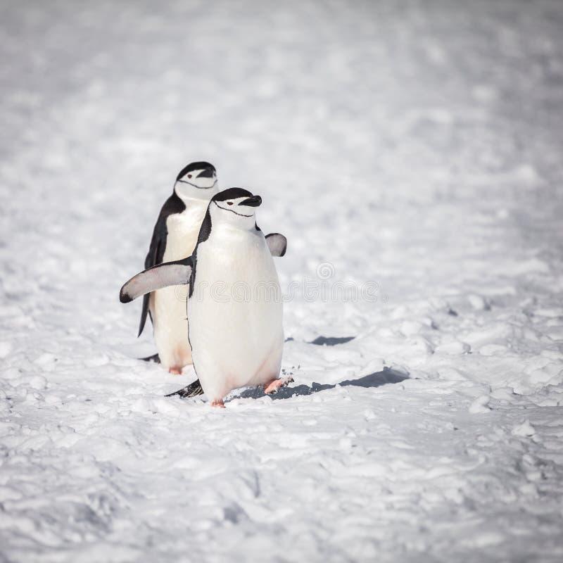 Pingouin marchant sur la neige images libres de droits