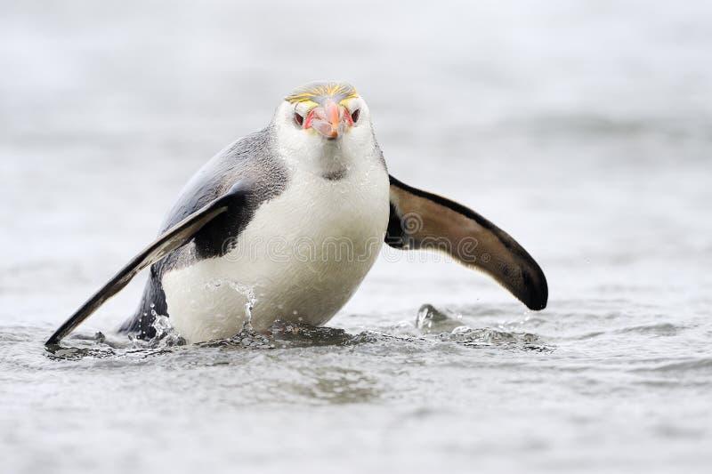 Pingouin royal (schlegeli d'Eudyptes) venant l'eau photo libre de droits