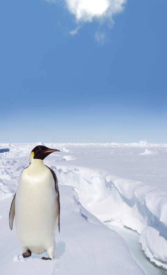 Pingouin sur la glace antarctique images stock