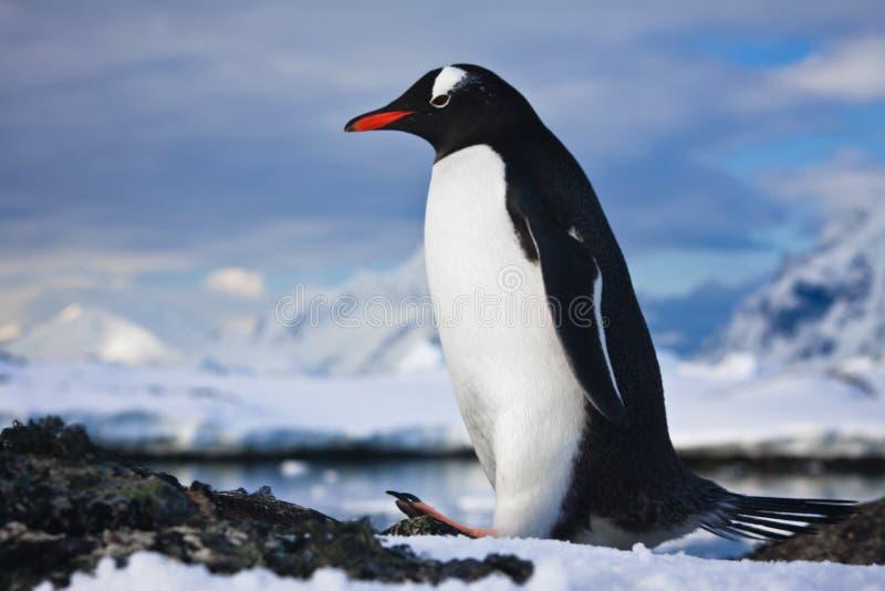 Pingouin sur les roches photographie stock